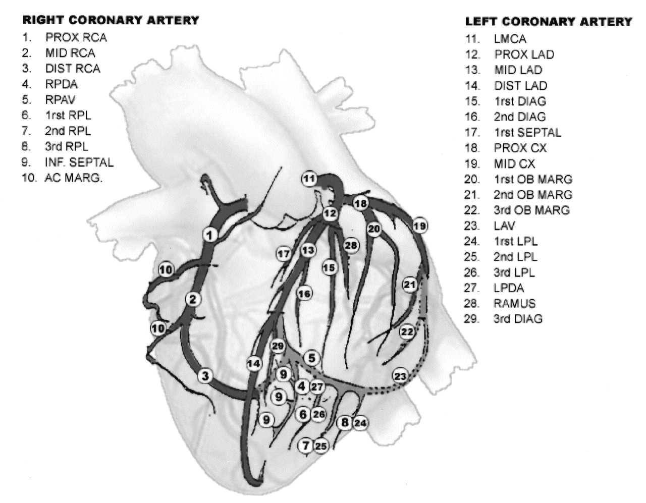 Is septal branches of left anterior descending coronary artery ...