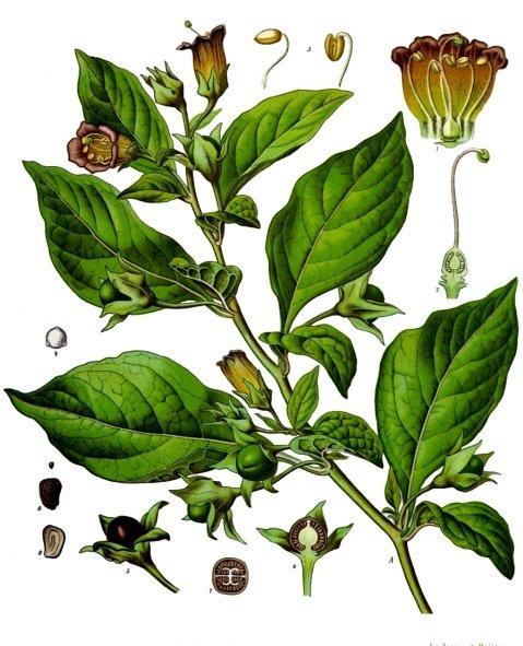 atropine leafs