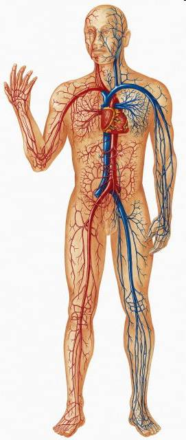 the circulatory system heart. Human circulatory system