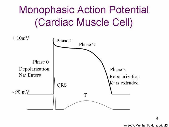 Cardiac action potential drsnkatesan md closely resembles an action potential picture ccuart Image collections