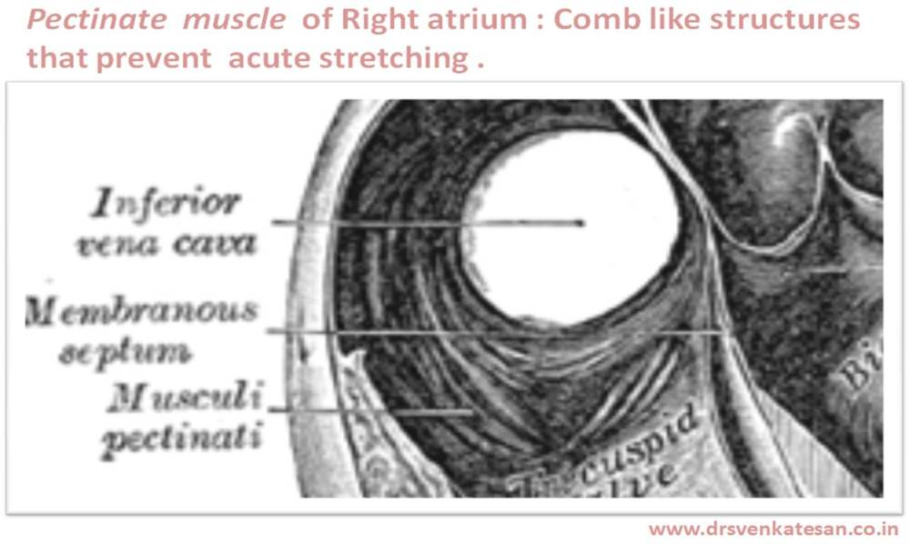 What is the function of pectinate muscles of heart ? (2/3)