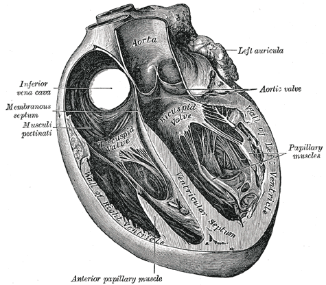 What is the function of pectinate muscles of heart ? (1/3)