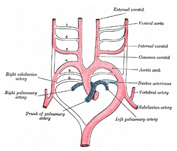 Why Patent Ductus Arteriosus Is Absent In Pulmonary Atresia With Vsd