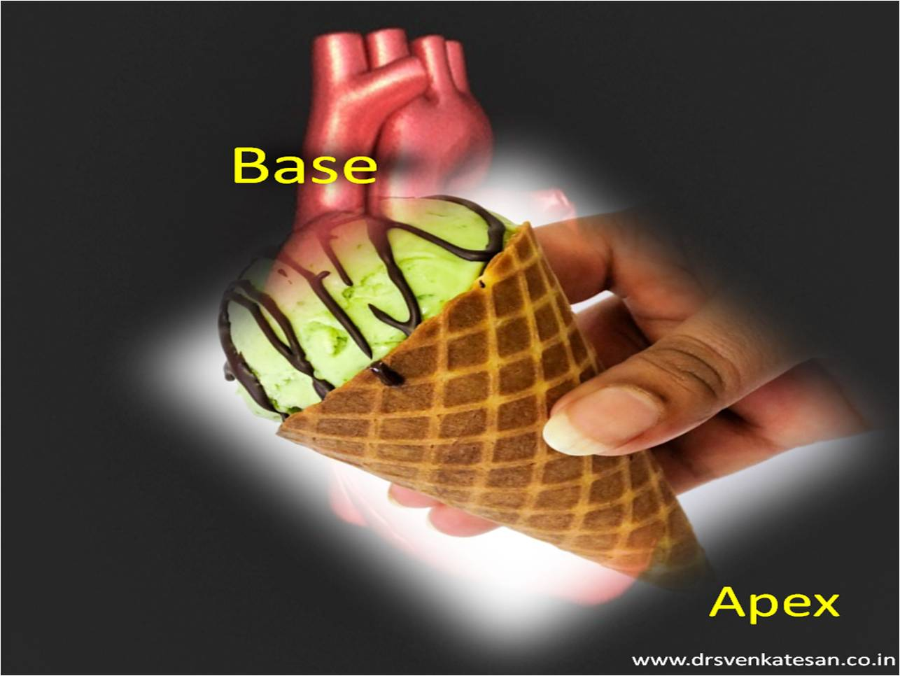 Apex vs base of heart drsnkatesan md base of heart apex waht is the shape of the heart ccuart Gallery