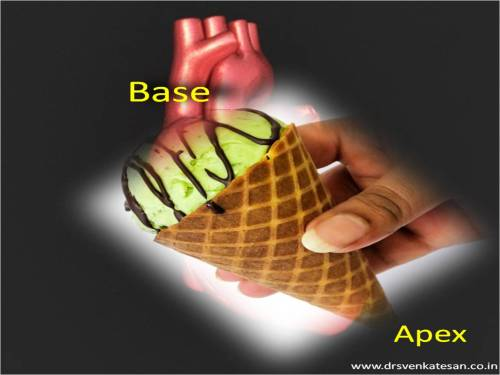 base of heart apex  waht is the shape of the heart