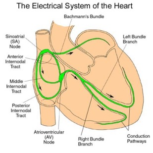 electrical CONDUCTION OF HEART