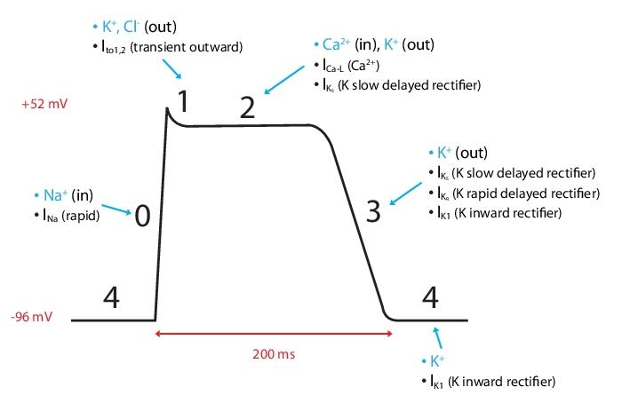 action potential cardiac