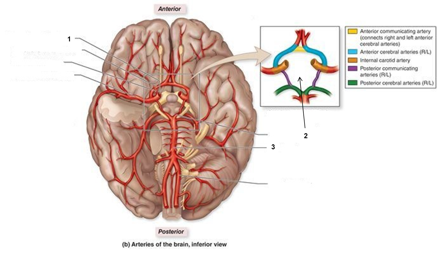 Stroke secrets : If traffic is well regulated in circle of Willis ...