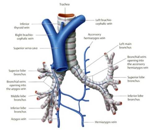 bronchial venous drainage bronchial circulation
