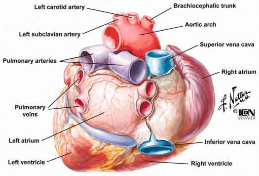Heart diagram posterior electrical work wiring diagram what exactly constitute posterior wall of heart dr s venkatesan md rh drsvenkatesan com heart anatomy posterior wall heart diagram posterior view ccuart Images