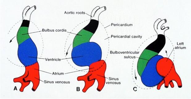 cardaic-looping-posterior-wall