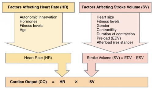 2031_Factors_in_Cardiac_Output